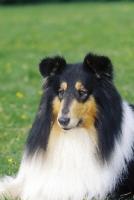 Picture of tri colour Collie