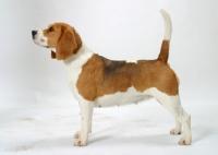 Picture of tricolour Beagle, Australian Champion