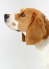 Picture of tricolour Beagle, Australian Champion, profile