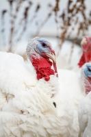 Picture of turkey profile