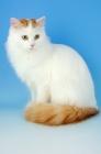 Picture of turkish van cat sitting down