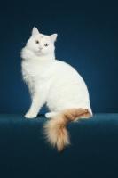Picture of Turkish Van cat