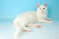 Picture of turkish van kedisi cat lying down