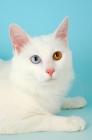 Picture of turkish van kedisi cat, portrait