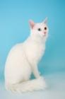 Picture of turkish van kedisi cat