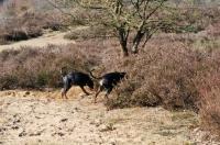 Picture of two black and tan German Pinschers (deutscher Pinscher) walking into the shrubs