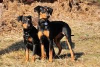 Picture of two black and tan German Pinschers (deutscher Pinscher)