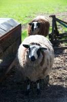 Picture of two bonte Texel sheep, (aka bonte Texelaar)