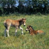 Picture of two Dartmoor foals in field