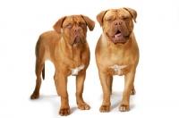 Picture of two Dogue de Bordeaux, different ages