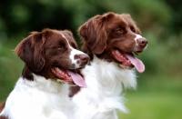 Picture of two Dutch Partridge dogs, portrait