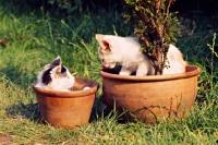Picture of two farm kittens in flower pots