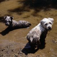 Picture of two glen of imaal terriers looking mischievous in muddy water