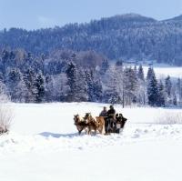 Picture of Two Haflingers, horse drawn sleigh ride in snow near Ebbs, Tirol Austria