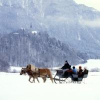 Picture of Two Haflingers, horse drawn sleigh ride near Ebbs, Tirol Austria