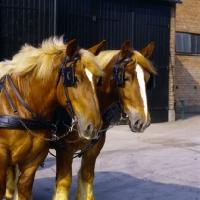 Picture of two jutland horses head study, carlsberg brewery, copenhagen