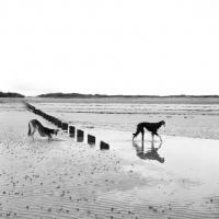 Picture of two salukis on beach, ch burydown elishama, left, burydown knightellington cheheli