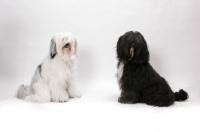 Picture of two Tibetan Terriers in studio