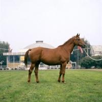 Picture of ukranian saddle horse mare named ukrainsky