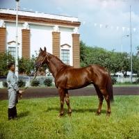 Picture of ukranian saddle horse stallion