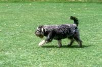 Picture of undocked miniature schnauzer in pet clip trotting across lawn