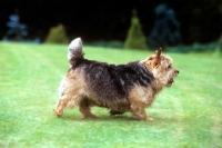 Picture of undocked norwich terrier trotting across lawn