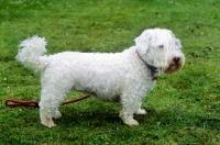 Picture of undocked sealyham terrier