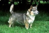 Picture of undocked swedish vallhund, misty