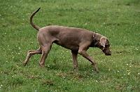 Picture of undocked weimaraner walking