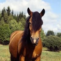 Picture of uno-malva 18918, north swedish horse in sweden, head study
