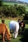 Picture of various dartmoor ponies