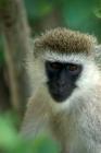 Picture of vervet monkey in tree