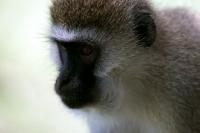 Picture of vervet monkey portrait