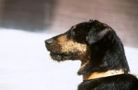 Picture of von der dachsberg ,german hunt terrier, portrait