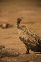 Picture of Vulture in Masai Mara