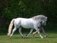Picture of walking Connemara pony