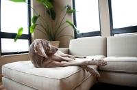 Picture of Weimaraner lying on sofa indoors.