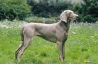 Picture of Weimaraner old German gundog, on grass