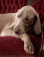 Picture of Weimaraner resting