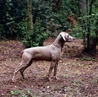 Picture of weimaraner standing in woods