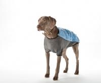 Picture of weimaraner wearing coat