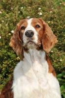 Picture of Welsh Springer Spaniel portrait