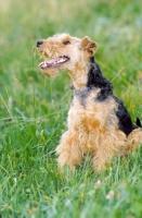 Picture of Welsh Terrier looking happy