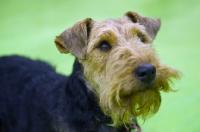 Picture of Welsh Terrier portrait, head and shoulder shot