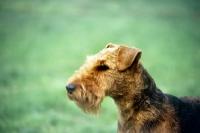 Picture of welsh terrier, portrait