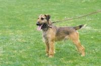 Picture of Westfalen Terrier (aka German working terrier) sitting on grass