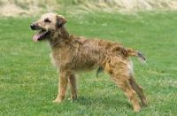 Picture of Westfalen Terrier (aka German working terrier) side view