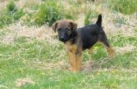 Picture of Westfalen Terrier puppy (aka German working terrier) on grass