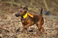 Picture of Westfalen Terrier