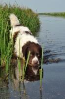 Picture of Wetterhound near water side